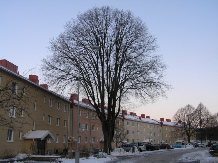 Almträd Kaverös