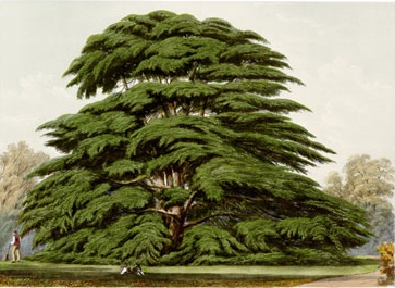 Cedrus-cropped